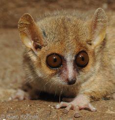 mouse lemur!