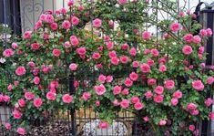 Pátio das Flores: Roseiras: cuidados .