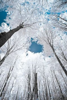 Trees are white, sky is blue…