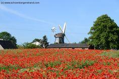 Mohnfeld mit Windmühle in Krokau