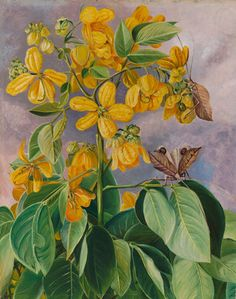 33. Flowers of Cassia corymbosa in Minas Geraes, Brazil by  Marianne North