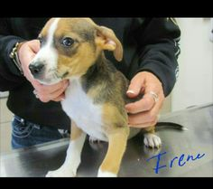 2 months old beagle mix available at Stapleton Petsmart April 30th. . Email adoption@paasvinita.com for more information.  www.paasvinita.com