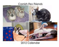 Cornish Rex Rescue Organization - my baby Bentley is a September star on their 2012 calendar.  Help support them and buy a calendar.  Each month will give you a smile.
