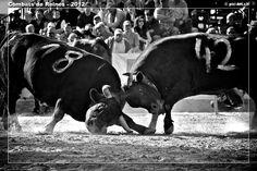 Combats de Reines - Cow fight - Aproz - Valais - Switzerland - 2012 Cows, Switzerland, Horses, Spaces, Animals, Art, Battle, Queen, Art Background