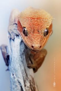 Nice shot of a crested 'eyelash' gecko Cute Reptiles, Reptiles And Amphibians, Mammals, Geckos, Wild Animal Wallpaper, Animals And Pets, Cute Animals, Photo Animaliere, Crested Gecko