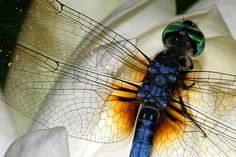 dragonfly on lily what an interesting close up of wing detail