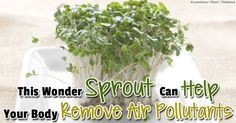 Fresh broccoli sprouts are more potent than whole broccoli -- here are some of its many health benefits. http://articles.mercola.com/sites/articles/archive/2014/06/30/broccoli-sprout-detox.aspx