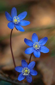 245 Mejores Imagenes De Rosas Azules En 2019 Blue Roses Blue