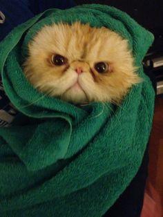 Art On Sun: Angry Babushka Cat