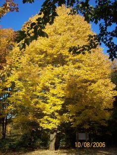 Yellow Maple Tree