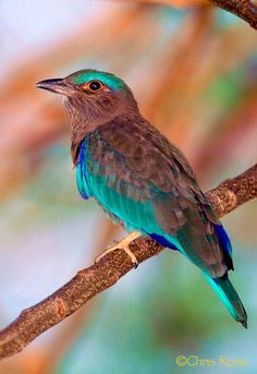 The Indian Roller - Coracias benghalensis, is found widely across tropical Asia from Iraq, the Indian Subcontinent to Indochina.