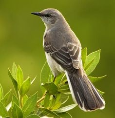 Tennessee selected the mockingbird (genus Mimus polyglottos) as official state bird in 1933, selected from an election conducted by the Tennessee Ornithological Society. Northern Mockingbirds are related to the brown thrasher and the catbird.