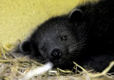 Baby Binturong (Bearcat) | 22 Of The Cutest Animal Babies You've Never Seen Before