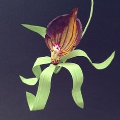 Paper orchid by Lucia Balcazar