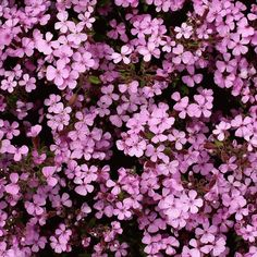 Rock Soapwort seeds are a semi-evergreen that blooms from May - August with five-petaled pink flowers joined at the base to form a nectar tube. Bees love it Hardy Perennials, Hardy Plants, Flowers Perennials, Planting Bulbs, Planting Flowers, Evergreen Flowers, Perennial Ground Cover, Edging Plants, Drought Resistant Plants