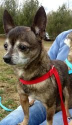 Pancho is an adoptable Chihuahua Dog in New Milford, CT. Pancho is the sweetest chihuahua in the world! This little guy is only 5 1/2 lbs, 8 yrs old and never meets a stranger. He loves to cuddle and ...