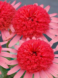 Echinacea Secret Passion Coneflower Type: Perennials Height: Medium (Plant apart) Bloom Time: Summer to Early Fall Sun-Shade: Full Sun to Mostly Sunny Zones: Find Your Zone Soil Condition: Normal, Acidic, Clay Flower Color / Accent: Pink / Pink
