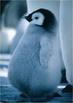 they're so fluffy when they're little like this... happy feet!