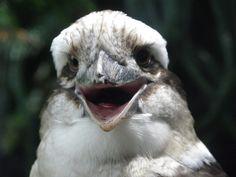 Laughing Kookaburra. Photo by canislupuscorax