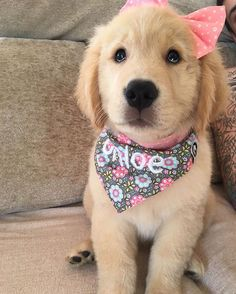 Golden Retriever Puppies – 5 Things To Search For When Purchasing A Puppy Cute Dogs And Puppies, Baby Dogs, I Love Dogs, Pet Dogs, Dog Cat, Doggies, Adorable Puppies, Small Puppies, Small Dogs
