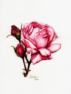 Rose (Buntstift, Jana Luther) Informations About Rose (Buntstift, Jana Luther) Pin You can e Easy Flower Drawings, Colorful Drawings, Easy Drawings, Pencil Drawings, Realistic Drawings, Luther Rose, Rose Sketch, Simple Rose, Plant Drawing