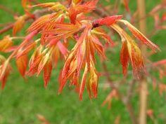 primavera di aceri giapponesi - Compagnia del Giardinaggio