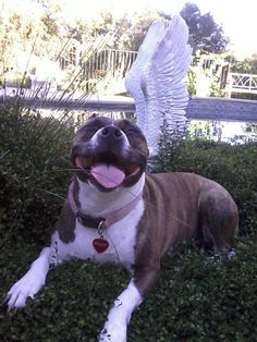 Roxie the angel...just proves that pitbulls are angels.