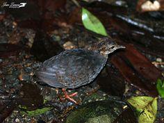 Slaty-breasted Tinamou Crypturellus boucardi - Google Search