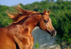 Horse / arabian horse in motion by Tamara Didenko