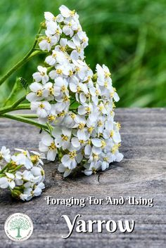 Learn why you should forage for and use yarrow! It has a wonderful flavor PLUS lots of medicinal uses! The Homesteading Hippy via @homesteadhippy