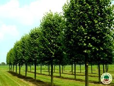 Completed Installations | Specimen & Semi Mature Trees Galleries - Practicality Brown Ltd