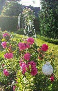 Kletter Rose Garten pink