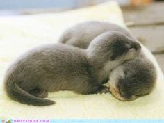 A river otter is any of 13 living species of semiaquatic (or in the case of the sea otter, aquatic) mammals that feed on fish and shellfish, and also other invertebrates, amphibians, birds and small mammals. An otter's den is called a holt or couch. A male otter is a meowter, a female is a queen, and a baby is a pup. The collective nouns for otters are bevy, family, lodge, or romp, (being descriptive of their often playful nature) or, when in water, raft.