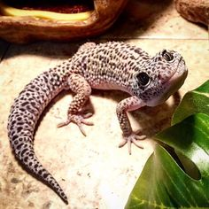 Gecko Food-- Dubia Roaches is the best Gecko Food!online we provide quality feeder insects at great prices and unmatched customer service, to keep your pets in the best nutritional health possible. Lepord Gecko, Leopard Gecko Cute, Cute Gecko, Cute Reptiles, Reptiles And Amphibians, Cute Funny Animals, Cute Baby Animals, Gecko Food, Cute Lizard