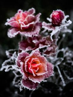 winter roses...Oh No!, these ones did not get pruned before the frost! But they do look pretty like this...