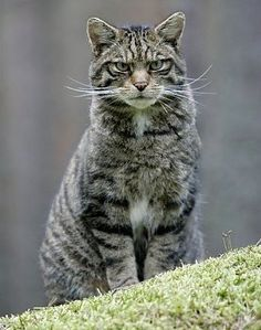 wild cat | wildcat in highland scotland photographic print of scottish wildcat ...