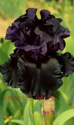 100pcs iris seeds,Iris orchid seeds,Rare Heirloom Tectorum Perennial Flower Seeds,24 colours to choose,plant for home gatden