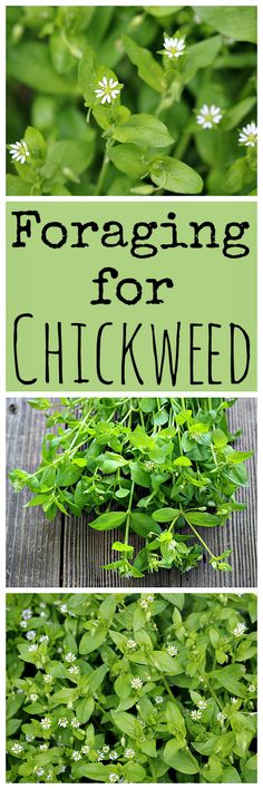 Chickweed is an easy to forage for edible and medicinal green that might even be growing in your own backyard!