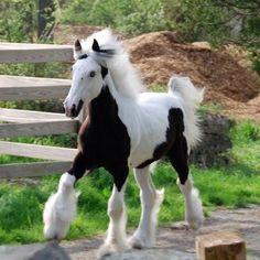 Westmoreland Gypsy Vanner Horse