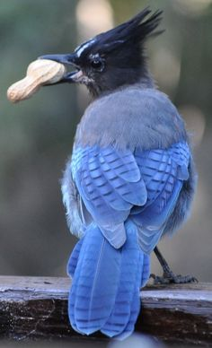 Steller's Jay. I love them. They fly above my kitchen window when they want peanuts or land on my shed and squawk at me :) Very friendly little guys.