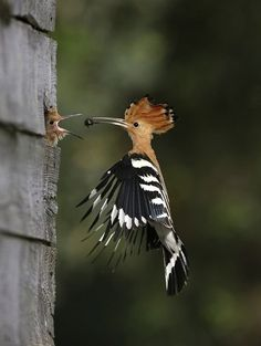 The Hoopoe was declared the national bird of the State of Israel on 29 May 2008 by the president of Israel. Nice click...