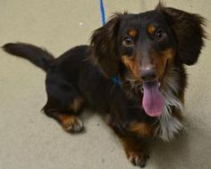 UTAH #URGENT ~ Bumper is a 1-2y/o adoptable Dachshund dog in FruitHeights. A stray & no one came- a wiggly & outgoing guy who loves atten. He's the type to hop in your lap & shower you with kisses then be on the other side of the room before you know it. He love toys & would love a big family to chase him around. He's a spunky & friendly guy ready for his forever family. Adopt him! DAVIS COUNTY ANIMAL SERVICES  1422 E 600 N  FruitHeights UT 84037  ph 801-444-2200 ksmith@co.davis.ut.us