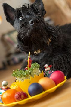 Scottish Terrier                                                                                                                                                      More