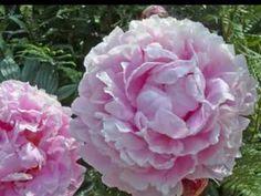 Morriston Orpheus Choir - The Rose