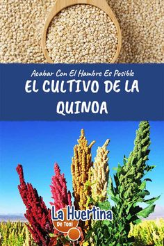 Acabar con el hambre es posible: La Quinoa - La Huertina De Toni Gardens, Environment, Happy, Cholesterol Levels, Vegetable Gardening, Hothouse