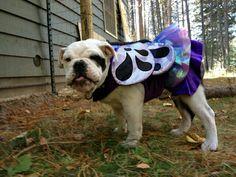 Look how cute Fiona was. @Tish Silva #bulldogs #halloweendogcostumes