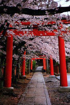 Kyoto Takenaka-inari-jinja Shrine cherry blossoms