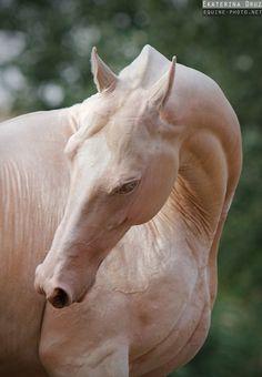 Akhaltekes - Equine Photography by Ekaterina Druz