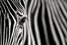 Zebra Photography by Mario Moreno