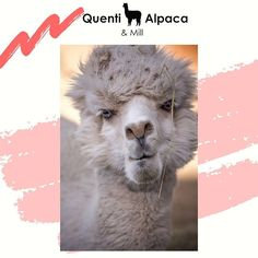 Alpaca products: Quenti has capitalised on this and breeds and sells alpacas as both sheep guards and pets. It also sells to breeders and offers a stud service.  The operation has a mill and produces yarn for external enterprises as well as their own. A range of alpaca products is manufactured: baby blankets beanies socks shawls ponchos carpets and blankets.  Quentis main value-added product is yarn for hand-knitting. Over 95% of its products are natural and undyed and exported to New… Alpacas, Baby Blankets, Beanies, Shawls, Carpets, Hand Knitting, Sheep, Socks, Range